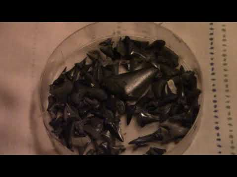AMAZING SHARK TOOTH COLLECTION | All Found in Myrtle Beach South Carolina