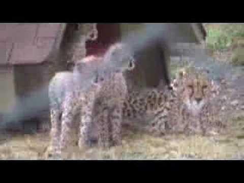 Help Save the Cheetahs - My Day as a Cheetah Ranger at Wildlife Safari