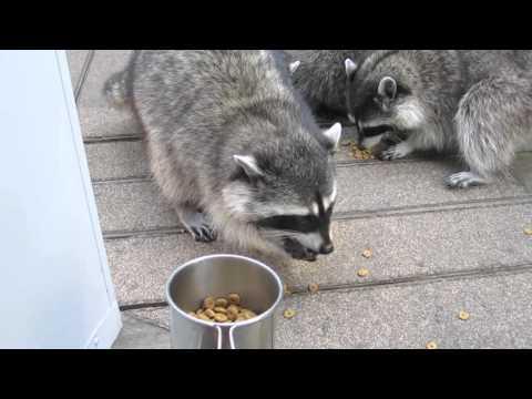 Baby Raccoons!!