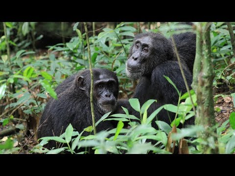 Uganda - Chimpanzee in Kibale Park