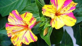 "Giardinaggio: semina pianta ""Bella di notte - Mirabilis jalapa"""