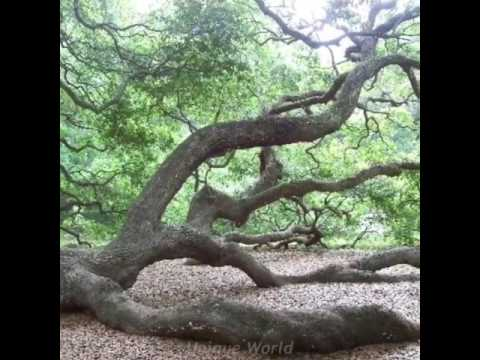 Unique World   1,500 year old Angel Oak tree in South Carolina