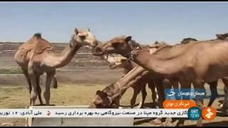 Iran Camel farming, Zahedan county پرورش شتر شهرستان زاهدان ايران