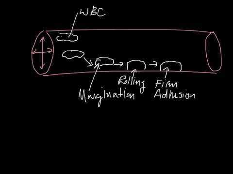 Margination, Rolling, Firm Adhesion, Diapedesis, Chemotaxis