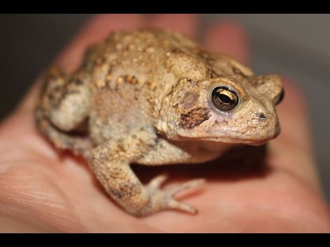 Frog hunting for fun with my son. How to catch toads and frogs with a spot light