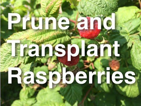 How to Grow, Prune and Transplant Raspberries