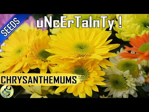 Chrysanthemums from seeds: Easy way to Propagate mums but with UNCERTAINITY!