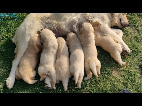 How to Tell if a Dog is Pregnant!  IN HINDI डाग परेगनेन्ट है या नही कैसे पता लगाये।