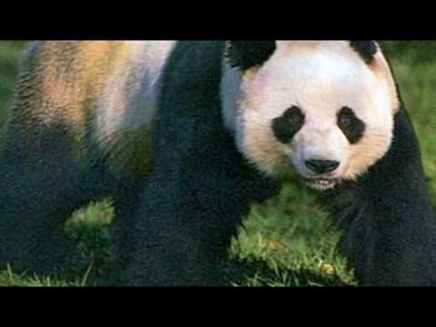 Save The Pandas Song