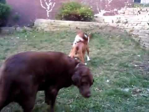 Copy of Boxer Dogs Fighting and Boxing