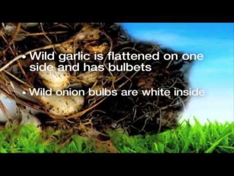 Wild_Onion