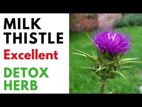 Milk Thistle Benefits For Liver, Heart, Kidney And Whole Body | Wonderful Herb For Detoxification