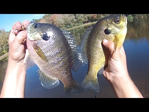 Bait Fishing #130 - Slamming Pond Panfish (Big Bluegill,  Other Sunfish, and Yellow Perch)