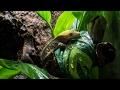 Naturalistic/Bioactive Crested Gecko Vivarium Build (Housing Henry)