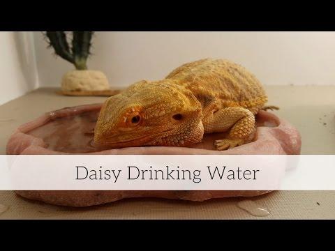 Bearded Dragon (Daisy) Drinking Water // 4K UHD.