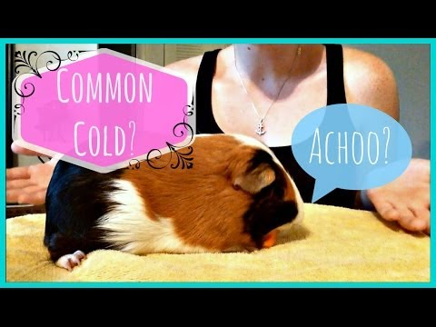 Can Guinea Pigs Catch a Cold??