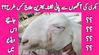 Gulabi bakra Qurbani | rajanpuri goat farm | world no 1
