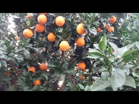 Orange Growing in greece europe