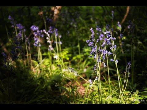 Photographing Bluebells at Tiddesley Wood