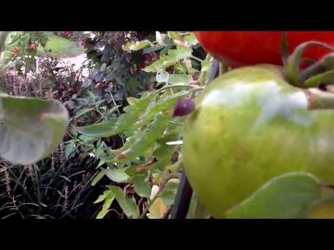 Stink Bug Eating Tomato