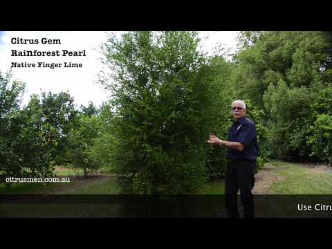 How to care for and grow Finger Lime Trees, Rainforest Pearl