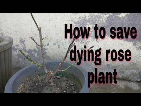 How to save dying rose plant || गुलाब के पौधे के मरने के कारण और बचाव