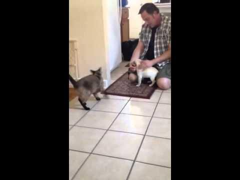 Lou the French bulldog meets yoshi the Siamese cat