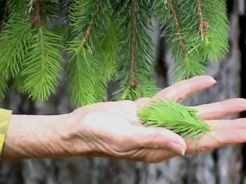 Edible Plants:Spruce