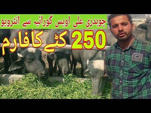 Watch nili Ravi buffalo for sale 14_5_2019 in Punjab Pakistan on YouTube
