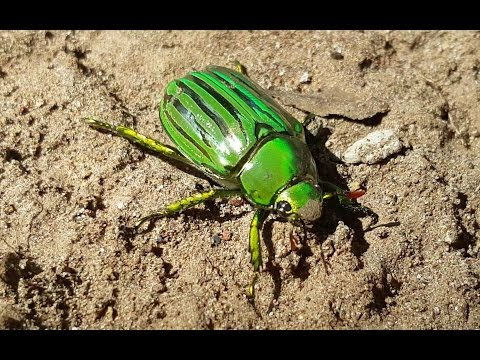 4K CC. Big Glorious Scarab Beetle, Catching Amazing Pet Insects & Reptiles  NM AZ TX USA Herping HD.