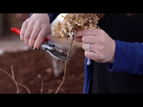 How to Trim a Panicle Hydrangea! ✂️🌿💚 // Garden Answer