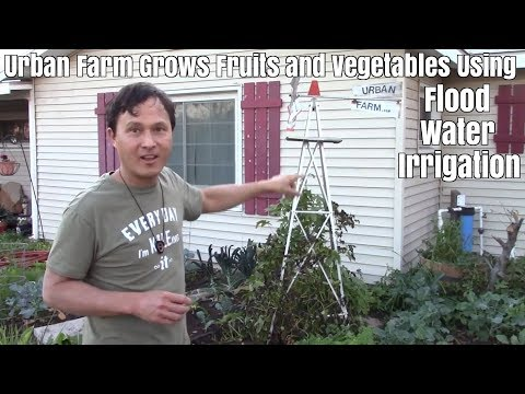 Urban Farm grows Fruit Trees & Vegetables with Flood Water Irrigation in the Desert