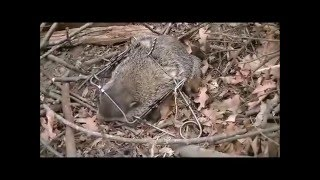How To Ridremovecontroltrapcatch A Groundhogwoodchuck From Your Prope