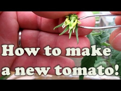 How To Make Your Own Tomato:  A Simple Cross