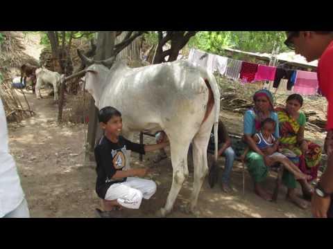 How to Milk cow - India village life