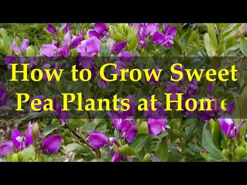 How to Grow Sweet Pea Plants at Home