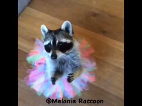 Melanie Raccoon Ballerina