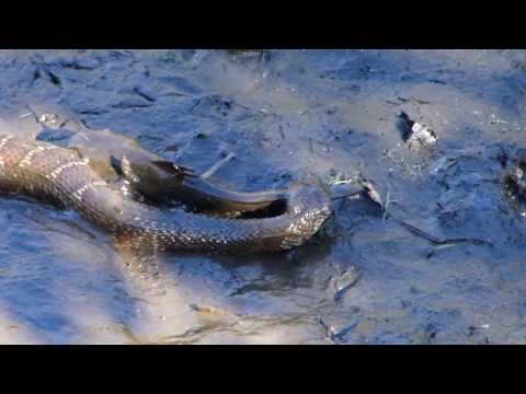 Northern Water Snake devours a Hornpout