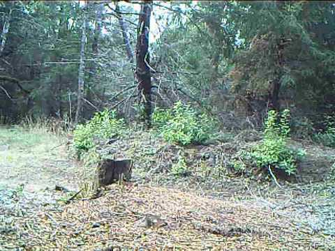 Female Mountain Lion Screaming for mates in front of trail camera