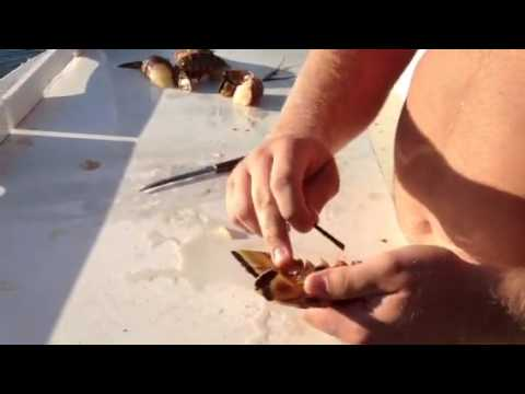 How to clean a Florida Lobster (spiny lobster)