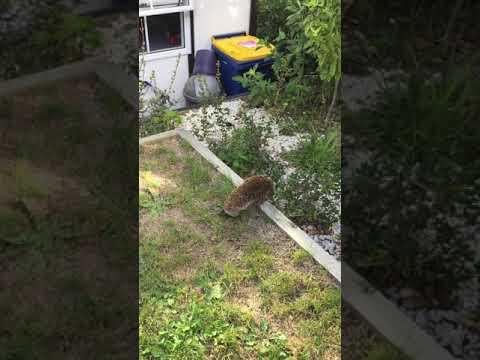 Via&DJ encounter hedgehog in the garden