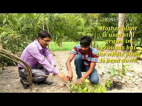 How the Sapodilla ( Chikoo ) Tree is Grafted  // A Video directly from the Nursery.