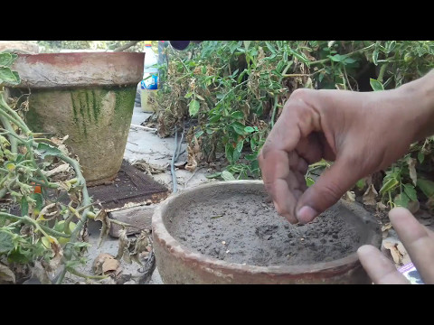 How to grow Eggplant seedling at home