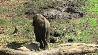 Baby Elephant has a little trouble at the waterhole BushCamp South Luangwa HD