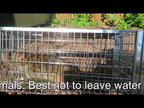 Rats and how to catch them alive