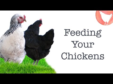 Backyard Chicken Keeping - Ep. 6: What to Feed Your Chickens