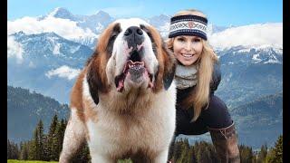THE SAINT BERNARD DOG - GIANT ALPINE RESCUER