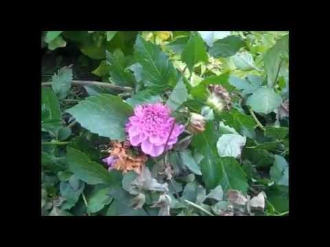 Winterizing Dahlia Bulbs