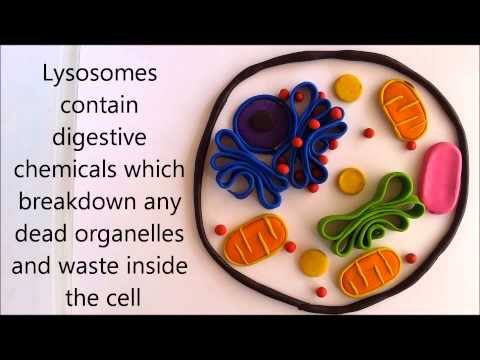Cell organelles & their functions
