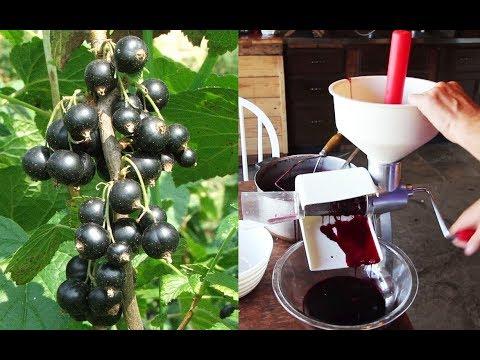 Permaculture Harvest: Antioxidant-Rich Black Currant Juice
